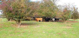 Tina LDWA cows